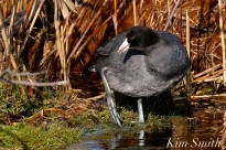 American Coot Gloucester Massachusetts copyright Kim Smith - 06
