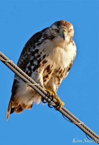 Red-tailed Hawk Massachusetts copyright Kim Smith - 05