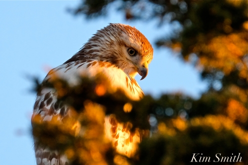 Red-tailed Hawk Massachusetts copyright Kim Smith - 07