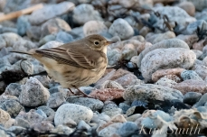 American Pipit 3-Gloucester Massachusetts copyright Kim Smith