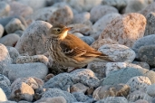 American Pipit 5-Gloucester Massachusetts copyright Kim Smith