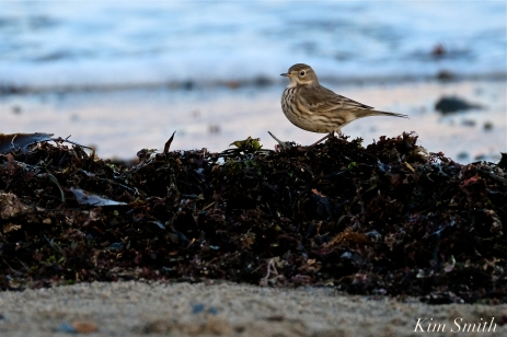 American Pipit 7-Gloucester Massachusetts copyright Kim Smith