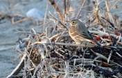 American Pipit Winter Wildlife Gloucester Massachusetts copyright Kim Smith - 13