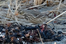 American Pipit Winter Wildlife Gloucester Massachusetts copyright Kim Smith - 15