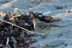 American Pipit Winter Wildlife Gloucester Massachusetts copyright Kim Smith - 17