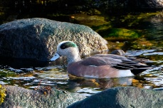 American Wigeon Winter Wildlife Gloucester Massachusetts copyright Kim Smith - 31