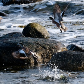 American Wigeon Winter Wildlife Gloucester Massachusetts copyright Kim Smith - 35