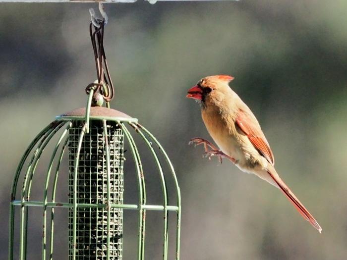 P1220915_Mrs. Cardinal arrives ahead of schedule.jpg