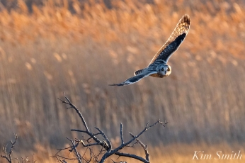 Short-eared Owl Parker River copyright Kim Smith - 11