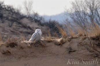 Snowy Owl Parker River Massachusetts copyright Kim Smith - 02 copy