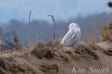 Snowy Owl Parker River Massachusetts copyright Kim Smith - 04
