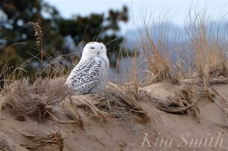 Snowy Owl Parker River Massachusetts copyright Kim Smith - 06