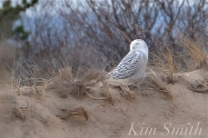 Snowy Owl Parker River Massachusetts copyright Kim Smith - 08