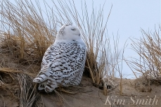 Snowy Owl Parker River Massachusetts copyright Kim Smith - 15