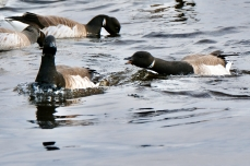 Brant Geese copyright Kim Smith - 10 of 10