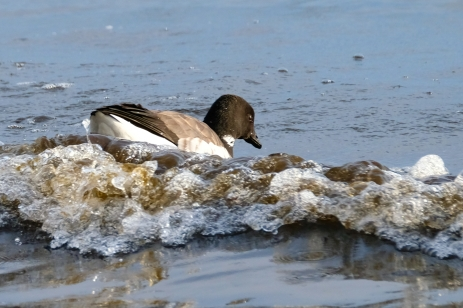 Brant Geese copyright Kim Smith - 3 of 10