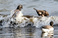 Brant Geese copyright Kim Smith - 6 of 10
