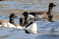 Brant Geese copyright Kim Smith - 8 of 10