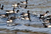 Brant Geese copyright Kim Smith - 9 of 10