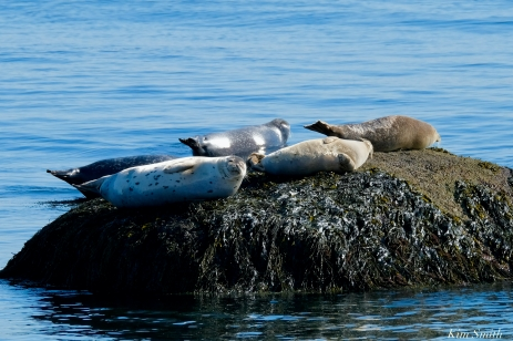 Harbor Seal copyright Kim Smith - 10 of 25