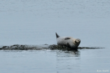 Harbor Seal copyright Kim Smith - 8 of 25