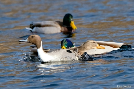 Mallards Northern Pintail fight Cape Ann Wildlife copyright Kim Smith - 5 of 27