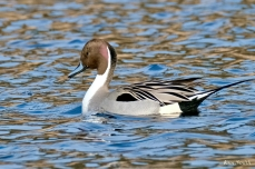 Northern Pintail Cape Ann Wildlife copyright Kim Smith - 3 of 27