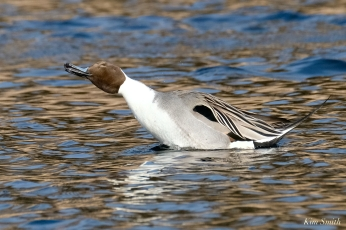 Northern Pintail Cape Ann Wildlife copyright Kim Smith - 4 of 27