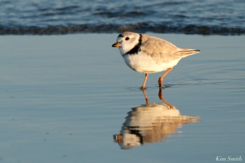 Piing Plovers Good Harbor Beach March 22, 2020 copyright Kim Smith - 4 of 9