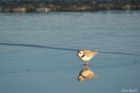 Piing Plovers Good Harbor Beach March 22, 2020 copyright Kim Smith - 6 of 9