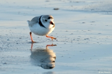 Piing Plovers Good Harbor Beach March 22, 2020 copyright Kim Smith - 9 of 9