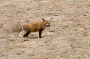 Red Fox Vulpes vulpes copyright Kim Smith - 1 of 18