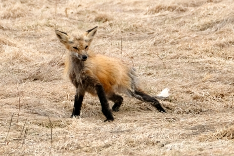 Red Fox Vulpes vulpes copyright Kim Smith - 13 of 18