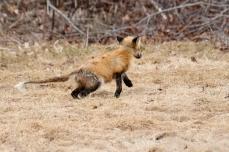 Red Fox Vulpes vulpes copyright Kim Smith - 17 of 18