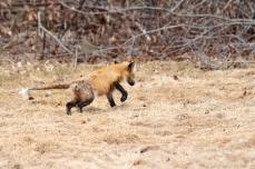 Red Fox Vulpes vulpes copyright Kim Smith - 18 of 18