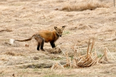 Red Fox Vulpes vulpes copyright Kim Smith - 3 of 18