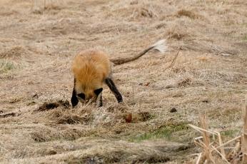 Red Fox Vulpes vulpes copyright Kim Smith - 6 of 18