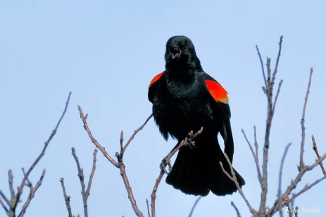 Red-winged Blackbird copyright Kim Smith - 1 of 1