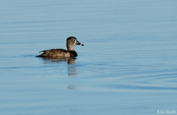 Ring-necked Duck female copyright Kim Smith - 15 of 25