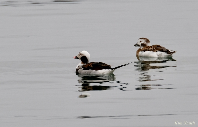 Long-tailed Ducks Male Female Gloucester copyright Kim Smith - 3 of 5