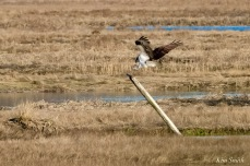 Osprey Annie Squam Lobstaland copyright Kim Smith - 5 of 9