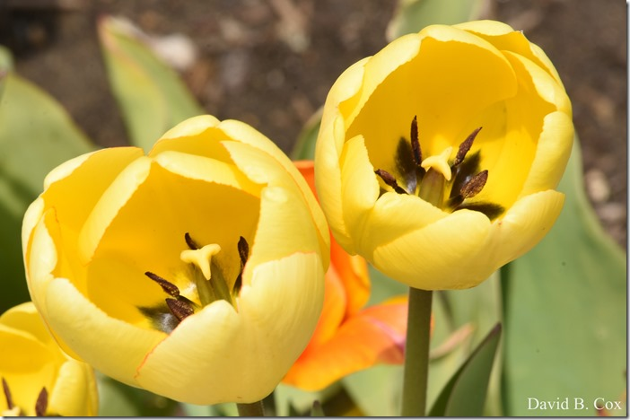 2020 5 13 Tulips at Blvd 033