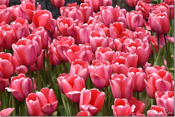2020 5 13 Tulips at Blvd 036