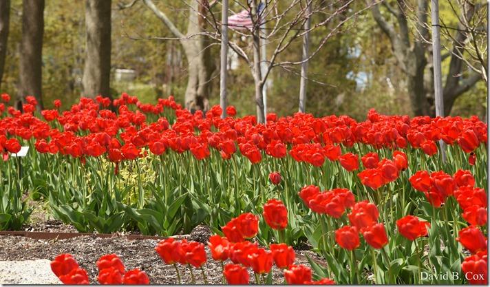 2020 5 13 Tulips at Blvd 045