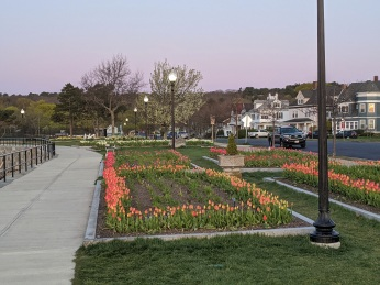 tulips in spring sunrise on Stacy Boulevard_5 May 2020 _Gloucester Ma., covid-19 © c ryan (1)