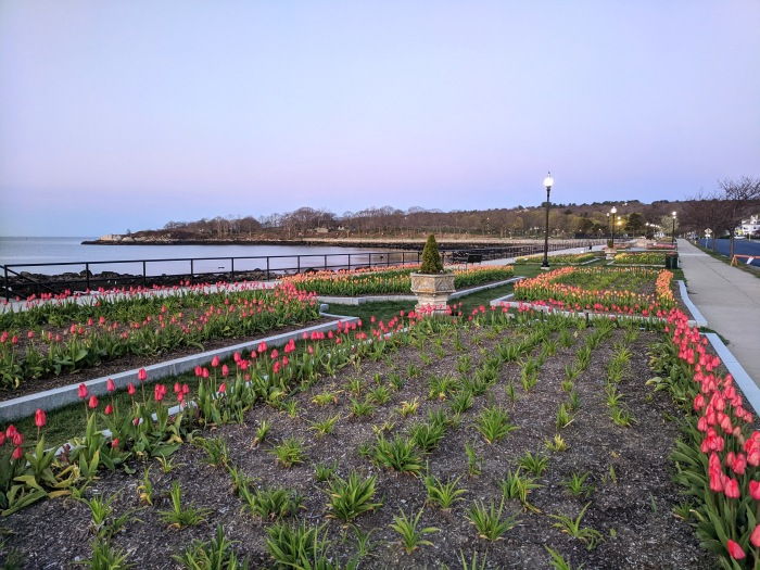 tulips in spring sunrise on Stacy Boulevard_5 May 2020 _Gloucester Ma., covid-19 © c ryan (2)