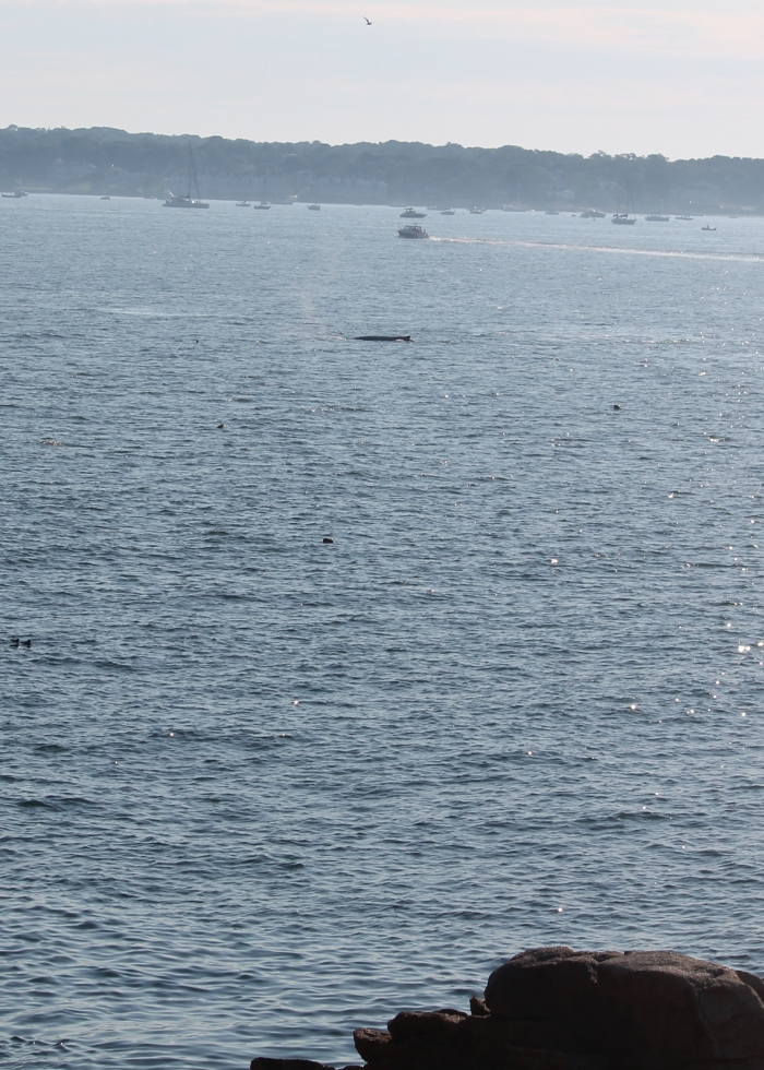 Smaller Whale off of Dolliver's Neck 7 28 20 IMG_0822_01