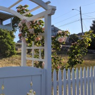summer bloom and fence_20200619_Gloucester Mass ©c ryan (1)