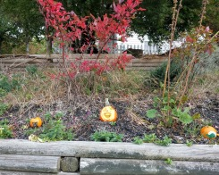 Annual pumpkin patch in the spirit! Halloween 2020_Pumpkin carving_ one house on Main Street annual tradition continues_Gloucester MA ©c ryan (2)