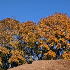 November 10 2020 trees Gloucester Mass ©c ryan